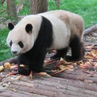 Centre des pandas