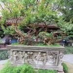 People's Park - Un magnifique bonsaï