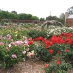 Adélaïde - Jardin botanique, roses
