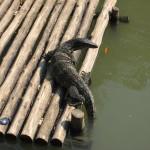 Zoo de Bangkok - Varan
