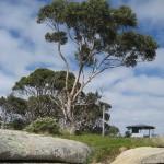 Bicheno - Un magnifique Eucalyptus
