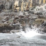 Bruny Island - Lions de mer