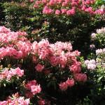 Dunedin - Rhododendrons du jardin botanique