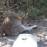 Freycinet - Wallaby, pose relax