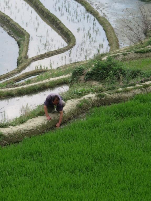 Homme Hani dans sa rizière