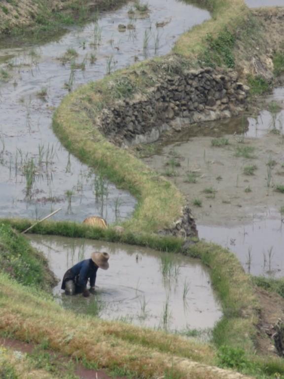 Désherbage de la rizière