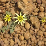kangaroo Island - Fleur jaune