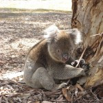 kangaroo Island - Vieux koala, 15 ans