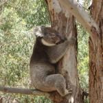 kangaroo Island - Il peut encore grimper mais pas haut