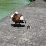 Picton, un canard, le Tadorne du Paradis, la mère et ses petits