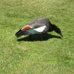 Picton, un canard, le Tadorne du Paradis, le papa des petits