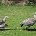Nature World - Cape Barren Goose