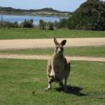 Nature World - Kangourou et son petit