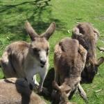Nature World - Kangourous