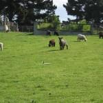 Oamaru et ses moutons