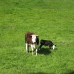 Oamaru - Une vache et son petit