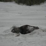 Péninsule Otago - Un lion de mer