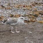 Une jeune mouette sur la plage de Percé