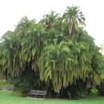 Adélaïde - Arbre du jardin botanique