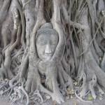 Temple Wat Mahathat - Bouddha dans un figuier