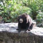 Zoo de Bangkok - Ours asiatique