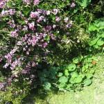 Bicheno - Fleurs