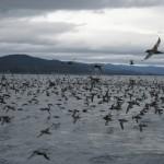 Bruny Island - Oiseaux Muttonbird