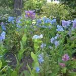 Dunedin - Camélias du jardin botanique