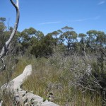 Freycinet - Bush