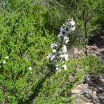 Freycinet - Kunzea