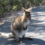 Freycinet - Wallaby