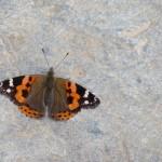 Un joli papillon