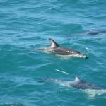 Kaikoura et ses dauphins