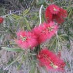 kangaroo Island - Arbuste au fleur étrange