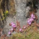 kangaroo Island - Encore des fleurs