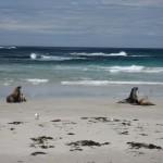 kangaroo Island - Lions de mer sur la plage