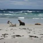kangaroo Island - Lions de mer