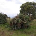 kangaroo Island - Penneshaw, plante