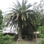 Napier - Un magnifique arbre
