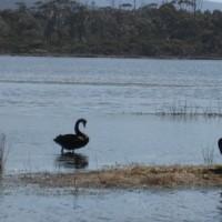 Nature World - Cygnes noirs et Pélican