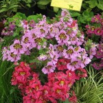 Oamaru - Des fleurs du jardin botanique