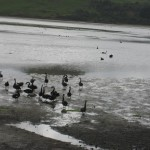 Péninsule Otago - Cygnes noirs