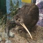 Rotorua - Kiwi du parc Rainbow Spring