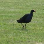 Rotorua - Oiseau Pukeko du parc Kuirau